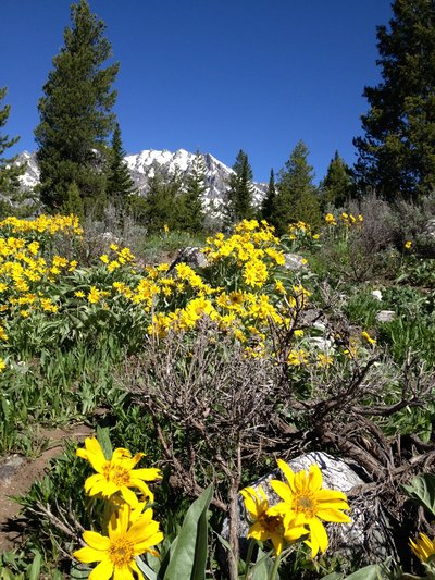 Mountains-Flowers-Tetons-Alpine